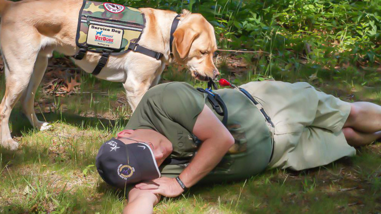 Yellow labrador retriever service dog pulls personal alarm on veteran's belt at the onset of a seizure.