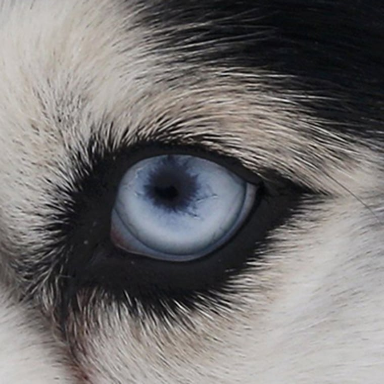 Image: A Husky dog looks on before a sled and skijoring race outside Yekaterinburg