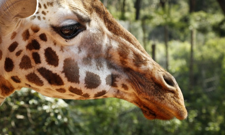 Image: A giraffe at the Giraffe Centre in Karen