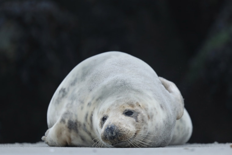 Image: Heligoland Seals Give Birth To Record Number Of Pups