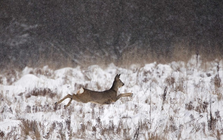 Image: Roe deer runs in field near village of Karpovichi