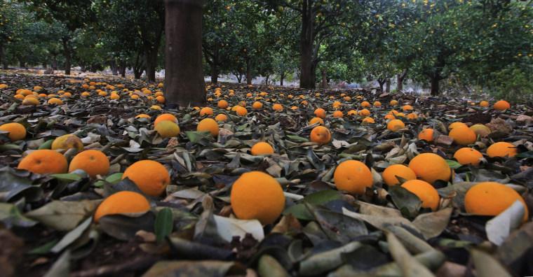 Image: Orange trees hit by weather in Palestinian territories