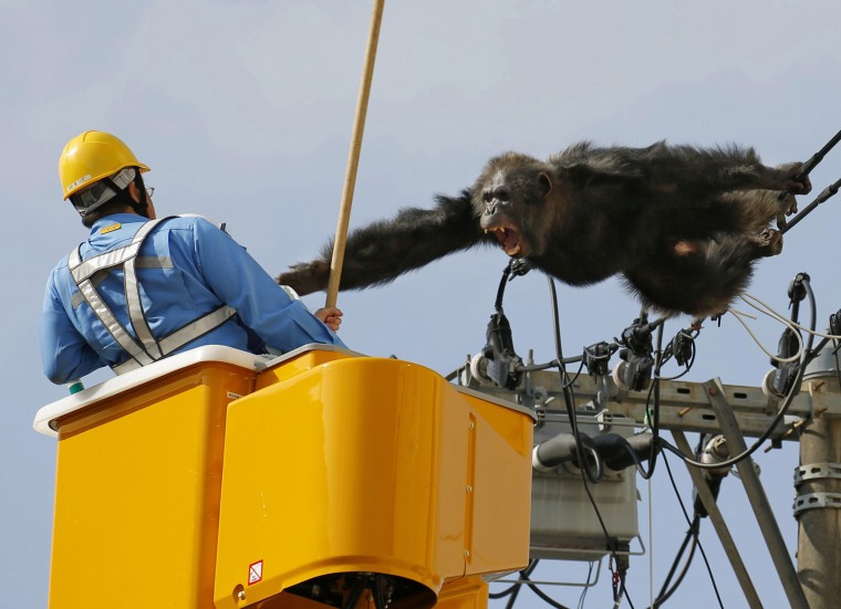Image: Chacha, the male chimp, screams at a worker in Sendai