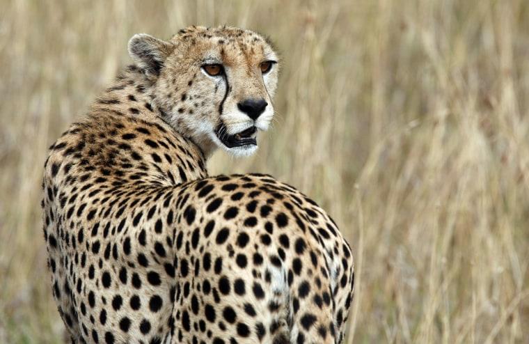 Image: A cheetah observes the plains in Masai Mara game reserve