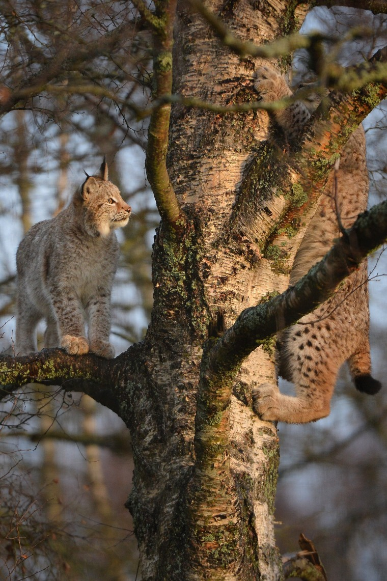 Image: (FILE) The Lynx Trust Seek Permission To Release Big Cats Into The Wild