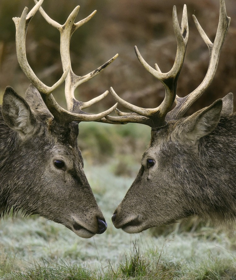 Image: Two deer prepare to lock horns during the annual rutting season in Richmond Park in west London