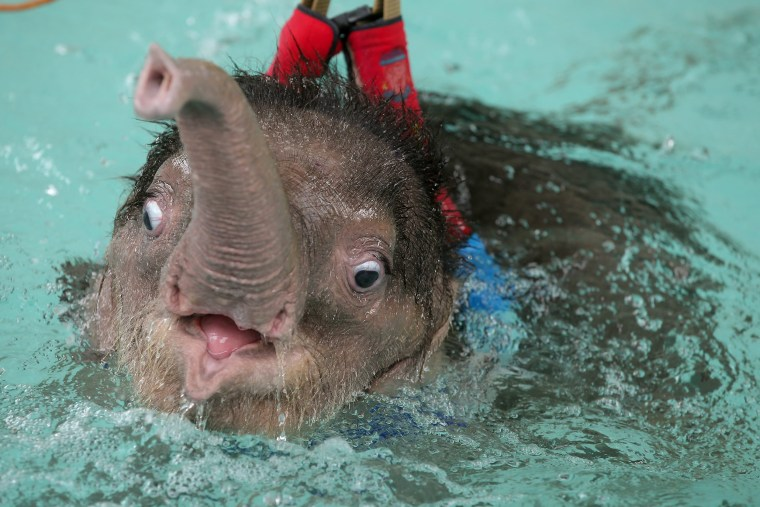 Image: Six month-old elephant Fah Jam has hydrotherapy to help heal her injured foot.