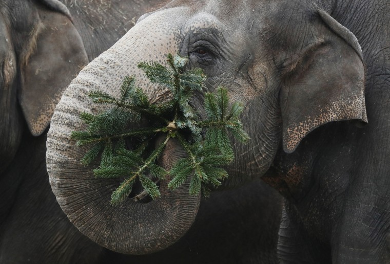 Image: An elephant munches on discarded Christmas trees