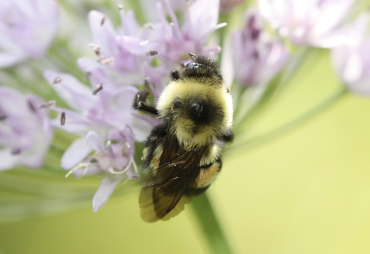 Image: This 2012 photo provided by The Xerces Society shows a rusty patched bumblebee in Minnesota.