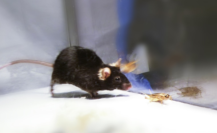 Image: A mouse chases after a cricket.