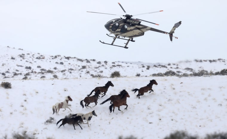 Image: Wild horses are herded into corrals by a helicopter during a Bureau of Land Management round-up outside Milford, Utah, Jan. 7.