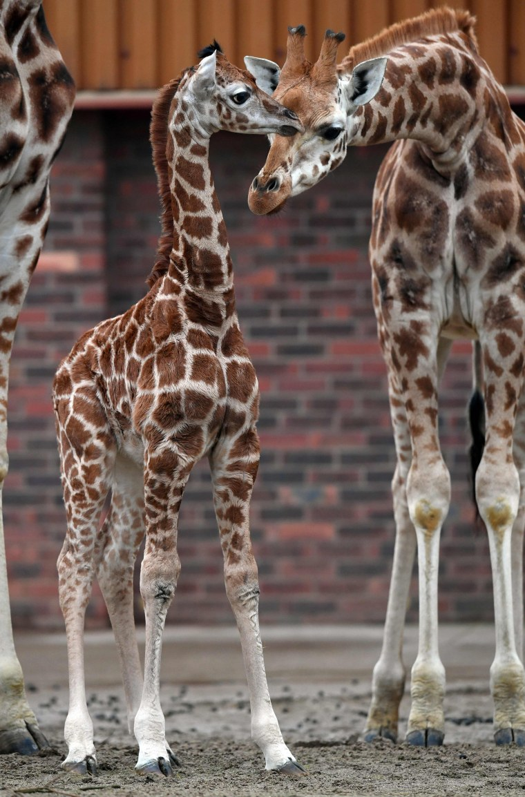 Image: BRITAIN-ANIMAL-GIRAFFE
