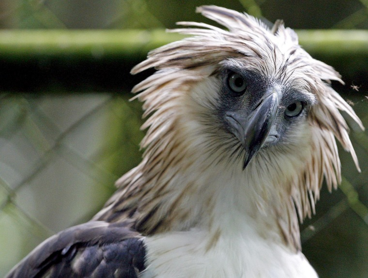 Image: Philippine Eagle 'Kalinawan' is seen inside a cage