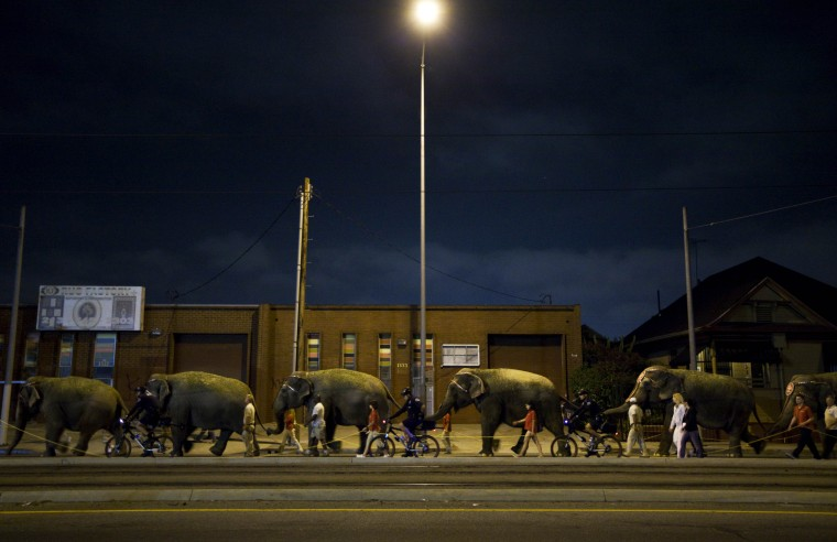 Image: Elephants are marched through downtown to the Staples Center in Los Angeles, July 7, 2009, where the memorial service for Michael Jackson will be held. The pre-dawn pachyderm march is a decades-old tradition for the circus.
