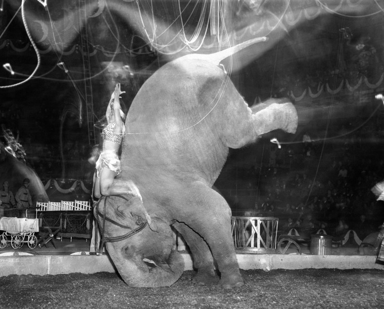 Image: Skee Otaris' hands are over her head as her pachyderm does a headstand during a performance in Madison Square Garden in New York on April 9, 1949.