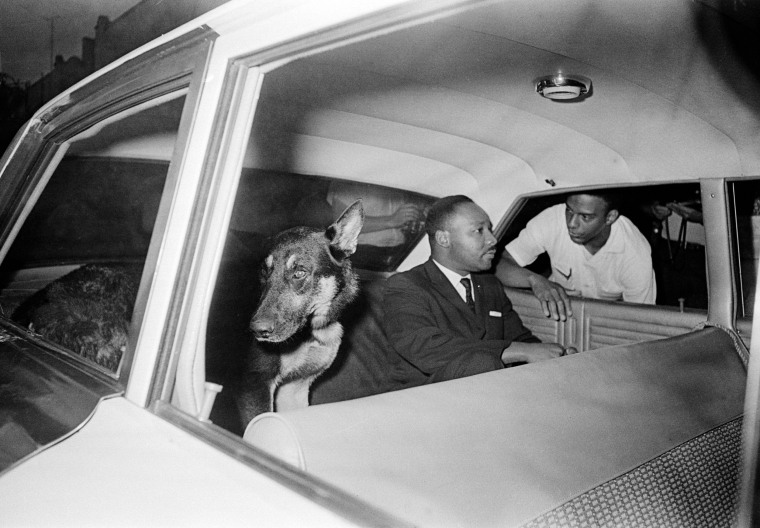 Image: King rides in the back seat of a police car with a police dog as he is returned to jail in St. Augustine, Fla.