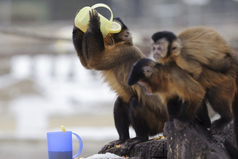 A brown capuchin monkey drinks warm tea as others look on in the cold winter weather, in the Debrecen Zoo in Debrecen, 226 kms east of Budapest, Hungary, Wednesday, Jan. 25, 2017.