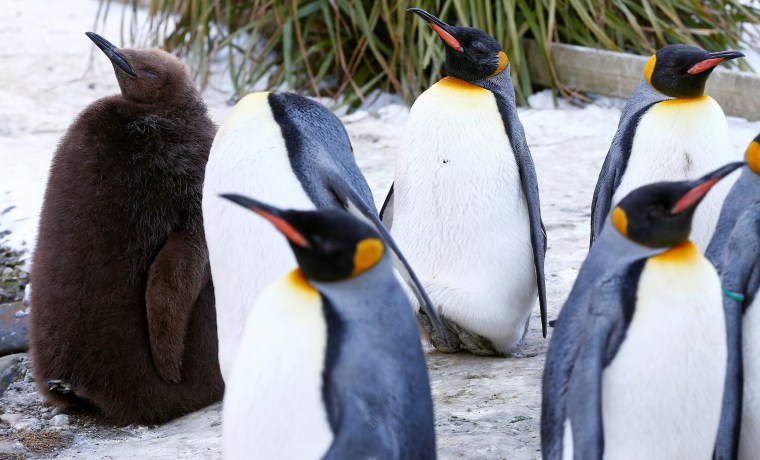 Image: A young king penguin stands in an enclosure at Zurich's Zoo in Zurich