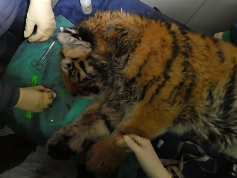 Image: The tiger cub is being treated at the Amur Tiger Center in Primorsky region.
