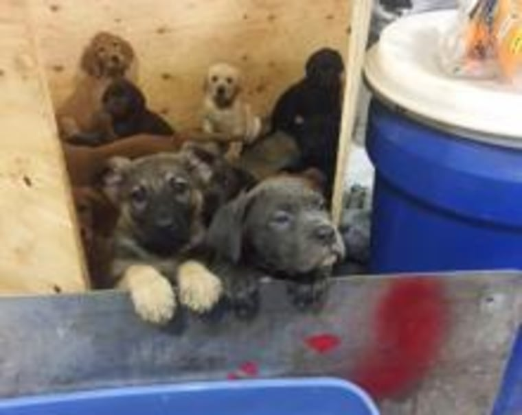 More than 100 puppies were rescued from an overturned truck by New York State Police.