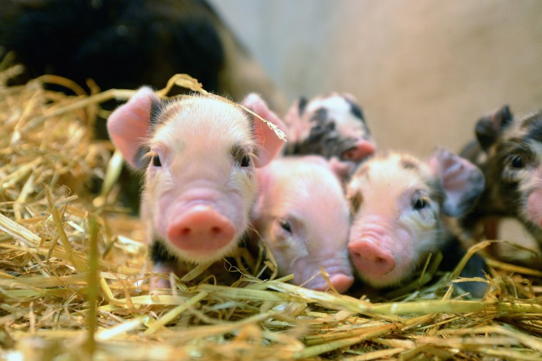 Image: Newly born piglets are pictured.