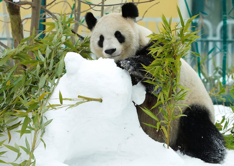 Image: Giant Panda Yang Yang touches a snowman in her enclosure at Schoenbrunn zoo in Vienna