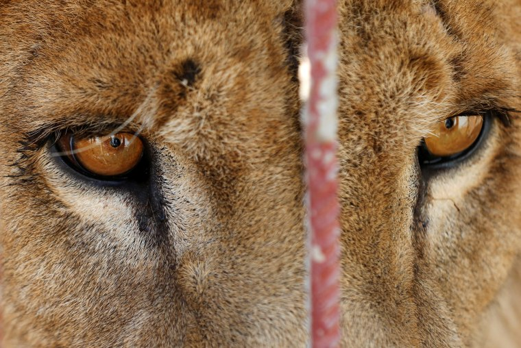 Image: A starving lion is seen in its cage at Mosul's zoo, Iraq