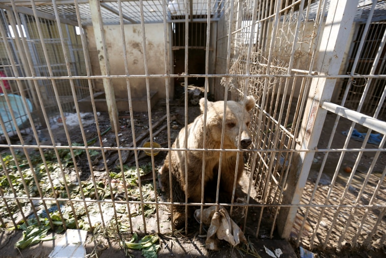 Image: A bear is seen in the cage of Nour Park at Mosul's zoo