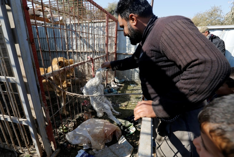 Image: A volunteer feeds a lion at Nour Park in Mosul's zoo