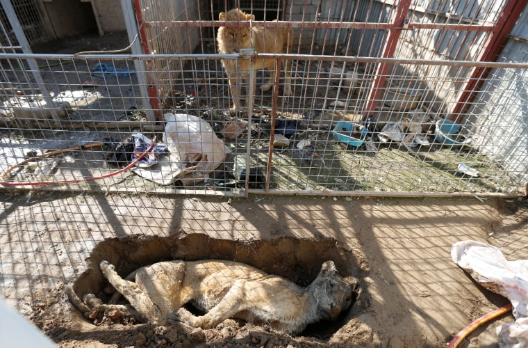 Image: A lion in its cage looks at a dead lioness in a grave at Mosul's zoo, Iraq