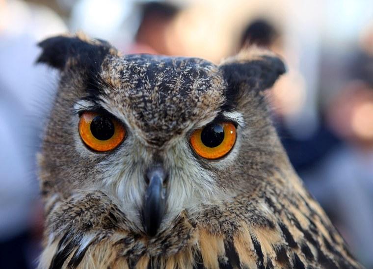 Image: KUWAIT-ANIMAL-OWL