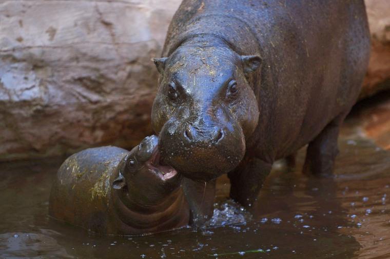 Image: TOPSHOT-SPAIN-ANIMALS-HIPPO