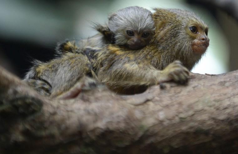 Image: COLOMBIA-ANIMALS-MONKEYS