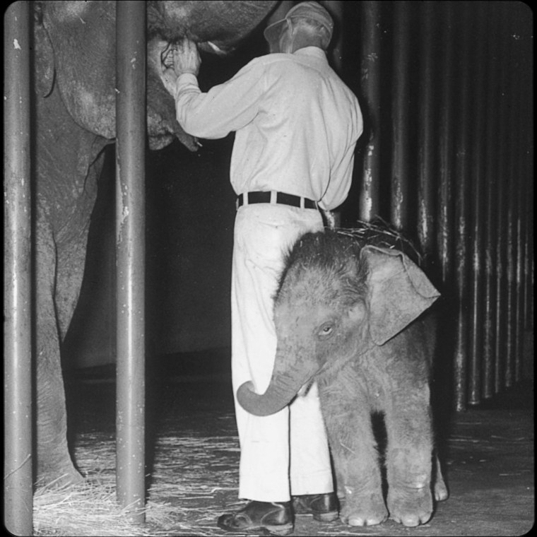 Image: Packy as an elephant calf in 1962