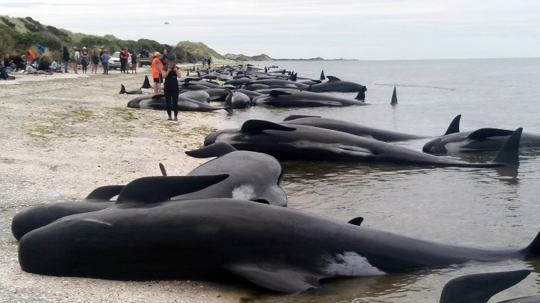 Image: Whales stranded at Farewell Spit near Nelson, New Zealand.