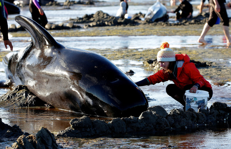 Image: Volunteers attend to some of the stranded pilot whales still alive after one of the country's largest recorded mass whale strandings in New Zealand