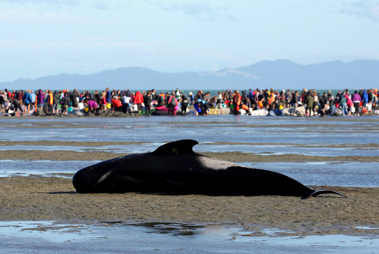 Image: Some of the hundreds of stranded pilot whales marked with an 'X' to indicate they have died in New Zealand
