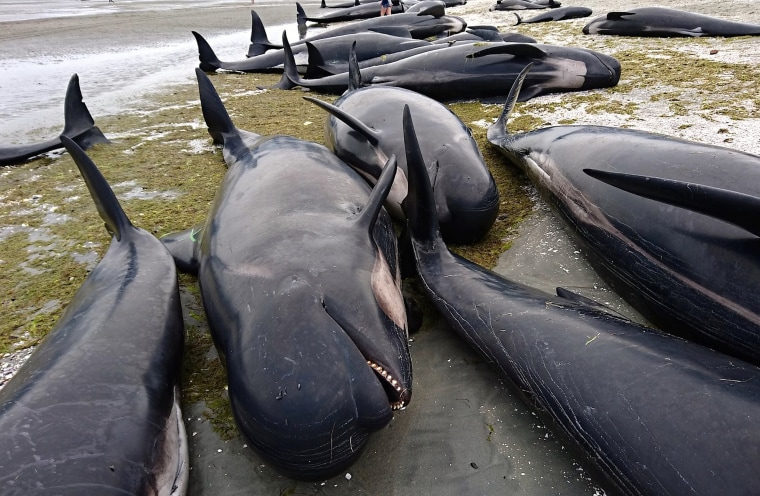 Image: People stand between some of the hundreds of stranded pilot whales that have died after one of the country's largest recorded mass whale strandings in New Zealand
