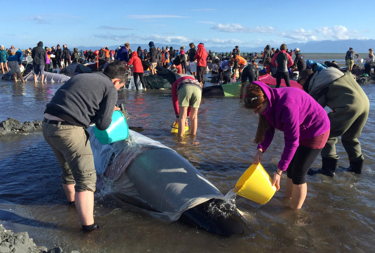 Image: Volunteers pour water onto some of the hundreds of stranded pilot whales still alive