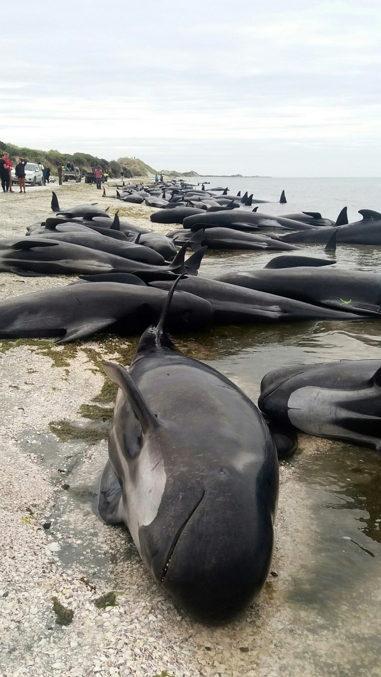 Image: Whales are stranded at Farewell Spit near Nelson, New Zealand Friday, Feb. 10, 2017