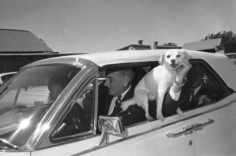 Image: 'Yuki', President Lyndon Johnson's pet mongrel, is held out the window of the car driven by LBJ