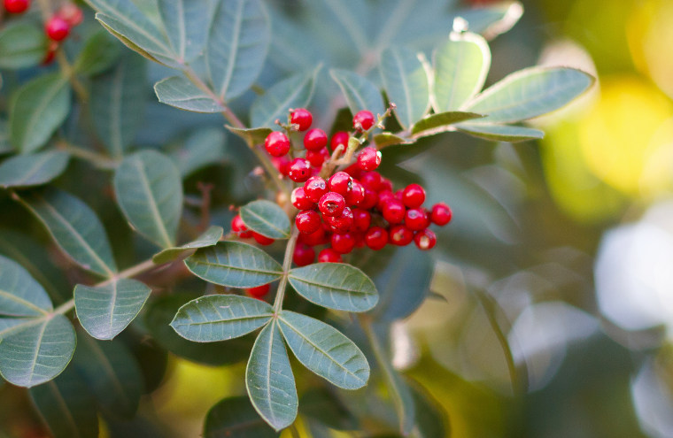Image: Brazilian pepper, aroeira, rose pepper, Christmasberry tree