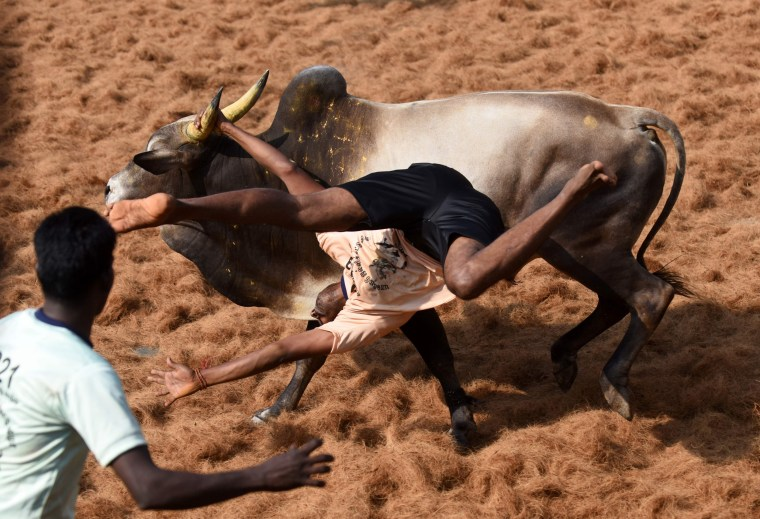 Image: An Indian bull throws a 'bullfighter' during an annual bull taming event