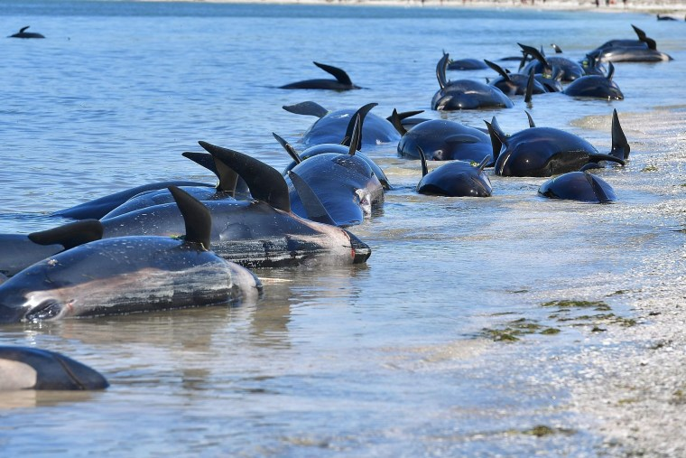 Why Are Whales Beaching Themselves New Zealand