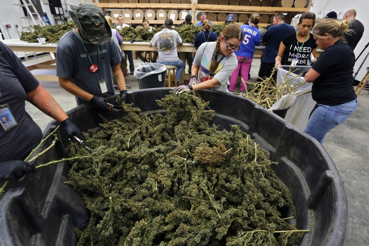 Image: Farmworkers process newly-harvested marijuana plants