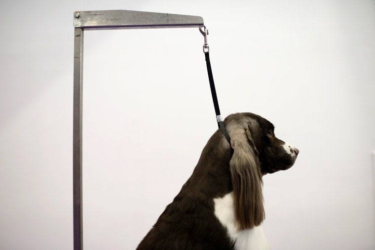 Image: Cullen, a Springer Spaniel from Charleston, South Carolina stands on a grooming table before competition at the 141st Westminster Kennel Club Dog Show in New York