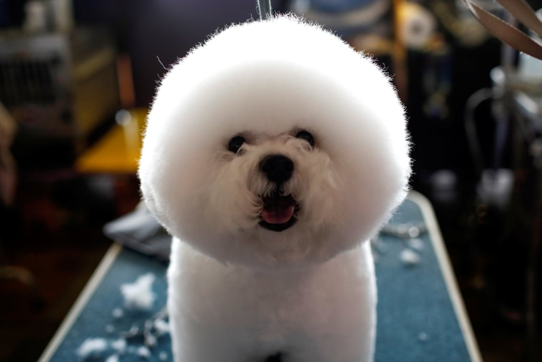 Image: A Bichon Frise stands on a grooming table in the benching area before competition at the 141st Westminster Kennel Club Dog Show in New York