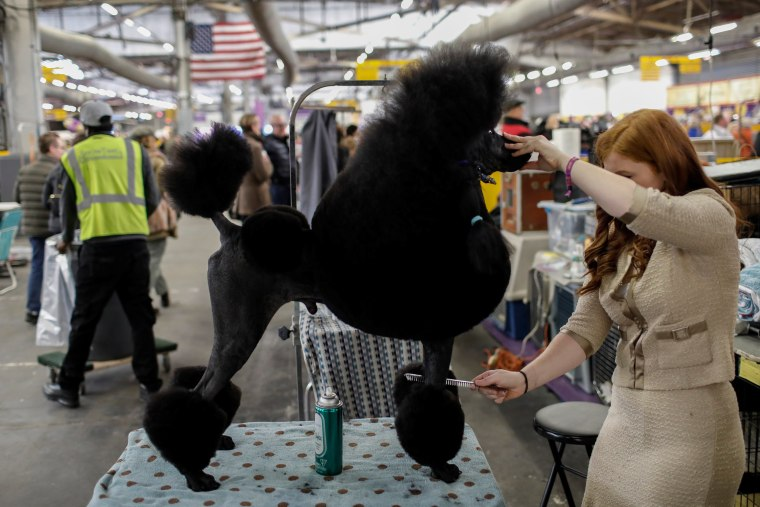 Image: A Standard Poodle is groomed in the benching area by his handler before competition at the 141st Westminster Kennel Club Dog Show in New York
