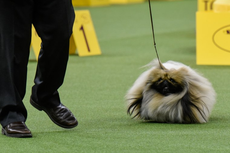 Image: Chuckie, a Pekingese, wins the Toy group at the 141st Westminster Kennel Club Dog Show, in New York City