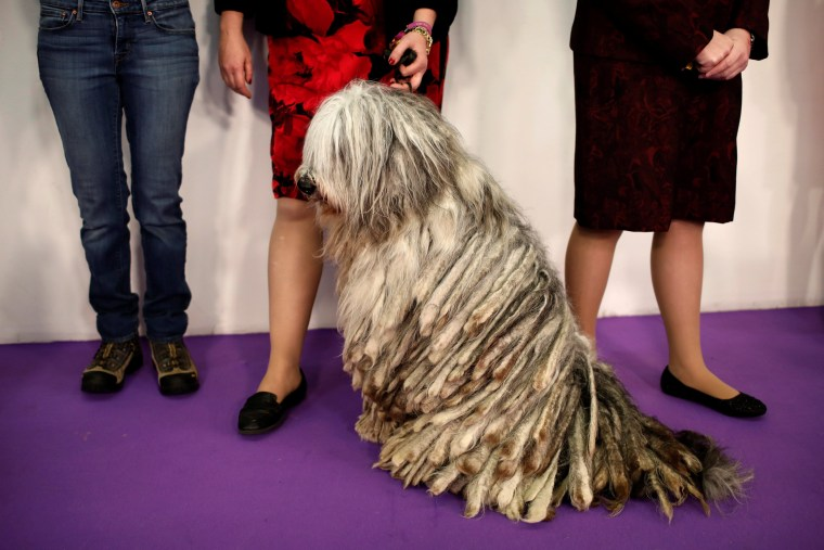 Image: A Bergamasco waits with its handler before competition at the 141st Westminster Kennel Club Dog Show in New York